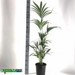 Howea Kentiapalm 24cm