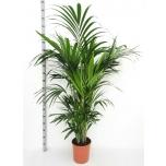 Howea Kentiapalm 27cm