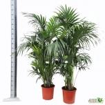 Howea Kentiapalm 32cm