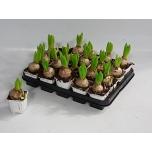 Hyacinthus Hüatsint valge 7cm