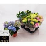 Hydrangea Hortensia 13cm mix
