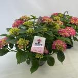 Hydrangea Hortensia 23cm Table tensia