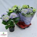 Hydrangea 14cm Hortensia Early Blue