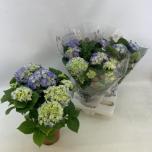 Hydrangea Hortensia 14cm Early Blue