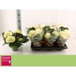 Hydrangea Hortensia 13cm Schneeball