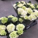 Hydrangea Hortensia Wudu 15cm