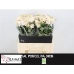 Kobarroos 60cm Royal Porcelina