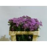Achillea Raudrohi 60cm Lilac Beauty