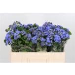 Ageratum Päsmaslill 50cm Blue