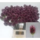 Allium 70cm Sphaerocephal