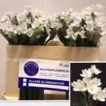 Allium Lauk 55cm Neapolitanum
