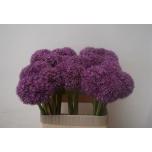 Allium Lauk 80cm Pinball Wizar