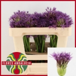 Allium Lauk Purple Rain 50cm