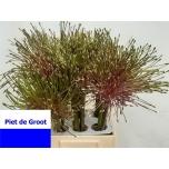 Allium Lauk Shubertii 50cm