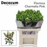 Alstroemeria Inkaliilia Charmelia Pink