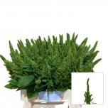 Amaranthus 60cm Green Thumb