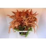 Amaranthus Rebashein 75cm Hot Biscuits