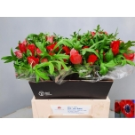 Anemone Ülane punane
