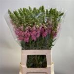Antirrhinum Lõvilõug 60cm Avignon Pink