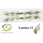 Anthurium Flamingolill Lumina *10