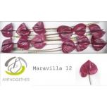 Anthurium Flamingolill Maravilla*12