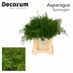 Asparagus Sprengerei 45cm