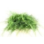 Asparagus Setaceus 40cm