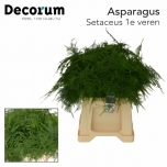 Asparagus Setaceus 45cm
