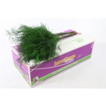 Asparagus Treefern