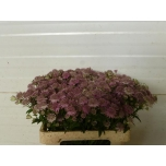 Astrantia Pink Sensation 50cm
