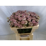 Astrantia 50cm roosa/punane