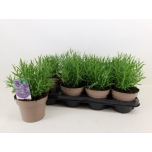 Lavandula Lavendel 14cm