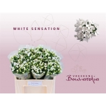 Bouvardia si white sensation 50cm