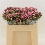 Bouvardia Buvardia 50cm Dark Pink