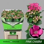 Bouvardia Buvardia 70cm Pink Charm