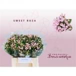 Bouvardia Buvardia 40cm Sweet Roza