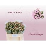 Bouvardia Buvardia 50cm Sweet Roza