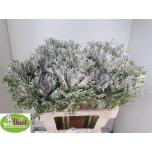 Brassica Kapsas 60cm Crane King
