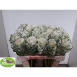 Brassica Kapsas 60cm White Crane