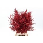 Bromelia paloma 80cm