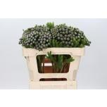 Brunia 50cm Albiflora