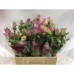 Campanula Kellukas 60cm roosa