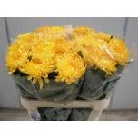 Chrysanthemum Krüsanteem Allouise Orange