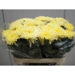 Chrysanthemum Krüsanteem Allouise White