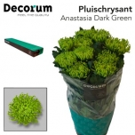 Chrysanthemum Krüsanteem Anastasia Green