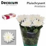 Chrysanthemum Krüsanteem Anastasia