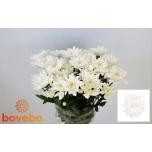 Chrysanthemum Krüsanteem Baltica