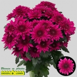 Chrysanthemum Krüsanteem Barca Splendid