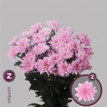 Chrysanthemum Krüsanteem Baltica Pink