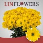 Chrysanthemum Krüsanteem Celebrate